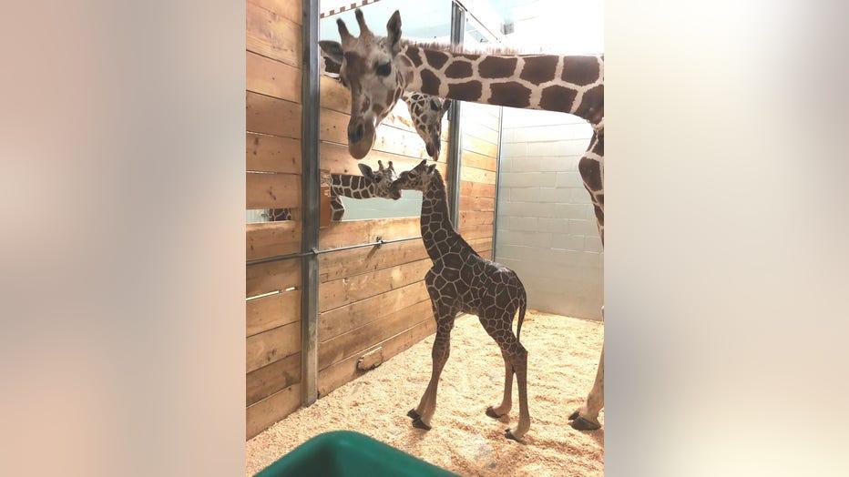 baby giraffe como zoo_3