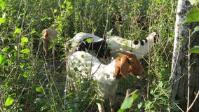Buckthorn-eating goats back in action in Burnsville, Minn.