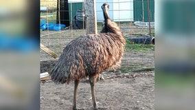 'Habitual runaway' emu prompts search in Benton County, Minn.