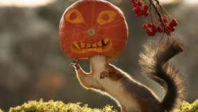 Amazing pictures show squirrel with a pumpkin on its head
