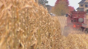Hampered by wet weather, Minnesota farmers deal with late harvest