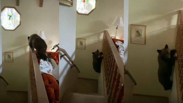 Bear cub makes parkour-style escape down staircase after breaking into California home