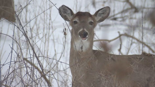 Twin Cities repair shops seeing more work as deer become more active