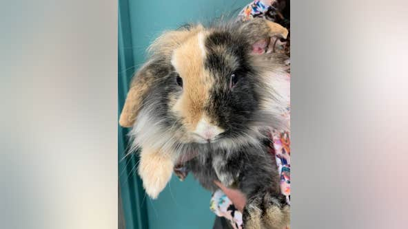 Lost bunny found in St. Louis Park, police seek owners