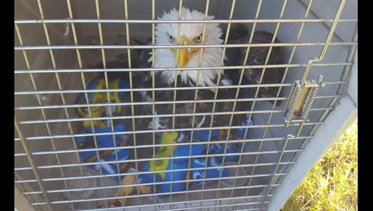 adf19e71-Bald eagle