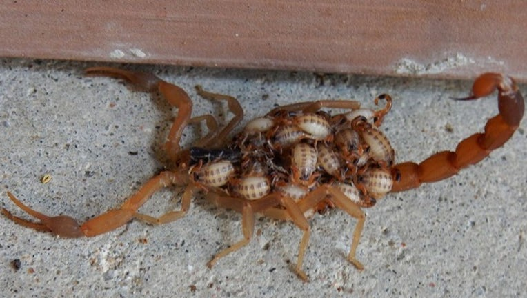 bfe684f7-Scorpion with babies_1531946633018.png-409650.jpg