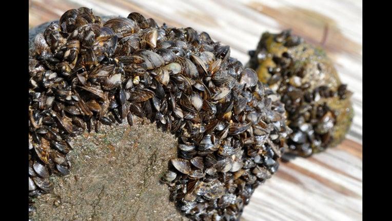 4da067cc-Zebra mussels_1499891485155.jpg