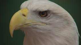 Why the U of M's Raptor Center is treating more sick and injured eagles than ever