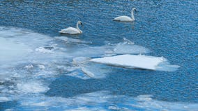 DNR: Trumpeter swans in icy water likely not in trouble