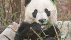 Bei Bei, DC's beloved giant panda, departs National Zoo for China