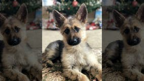 German shepherd stuck in 'perpetual puppyhood' due to rare genetic condition