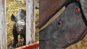 It's a boy: Endangered black rhino born at Michigan zoo on Christmas Eve