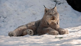 Environmental group notifies Minnesota of plans to sue to protect lynx from trapping