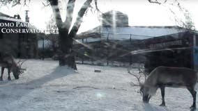 Como Zoo's live reindeer cam returns for the holidays