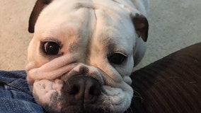 Bulldog crushed to death during grooming appointment at PetSmart, owner says