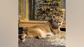 One of the oldest lionesses known in captivity dies at age 27 in Minnesota sanctuary