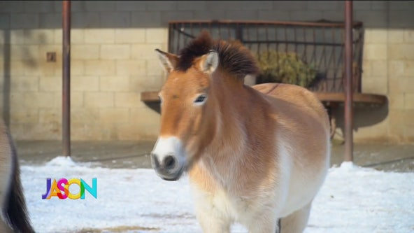 Getting use to the cold - Asian Wild Horses at MN Zoo preparing for journey to Russia