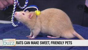 Small furry friends joined us in-studio to talk pint-sized animal adoption (Ernie the rat was a real hit)