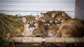 Rescued cougar kittens start new life at Wildcat Sanctuary in Sandstone, Minnesota