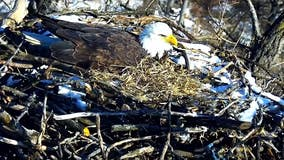 Bald eagles on EagleCam caring for 3 eggs this season
