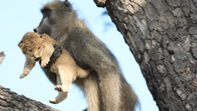 Baboon steals, grooms, lion cub in South Africa