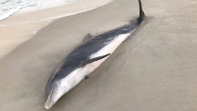 Dolphins found shot, stabbed on Florida beaches; $20K reward offered