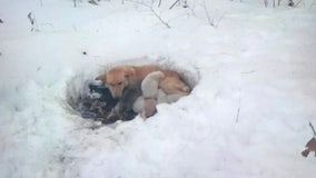Dog, litter of puppies rescued from snowdrift in northern Minnesota