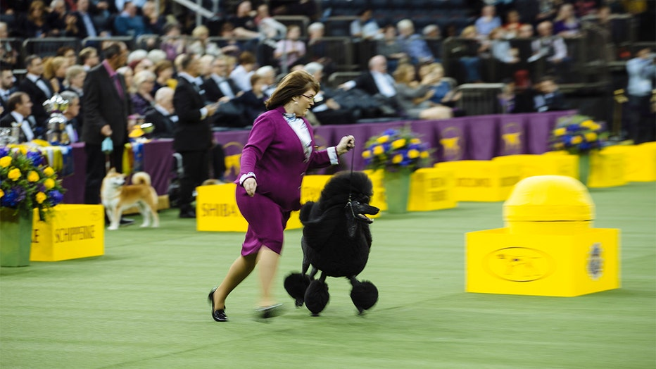 siba the standard poodle wins best in show at westminster
