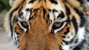 Minnesota wildcat sanctuary speaks out against 'Tiger King' cub petting