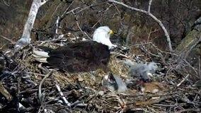 All 3 eaglets on Minnesota DNR's EagleCam have hatched