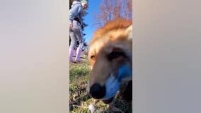 Fox at Minnesota rescue tries to steal cell phone
