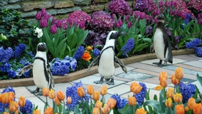 Como Zoo penguins take field trip to explore Spring Flower Show