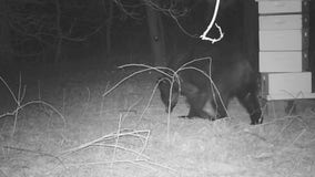 Trail cameras capture hungry black bear eating honey from family's beehive in Oak Grove, Minnesota