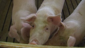 Hog farmers worry they won't get pigs to market in time despite presidential order