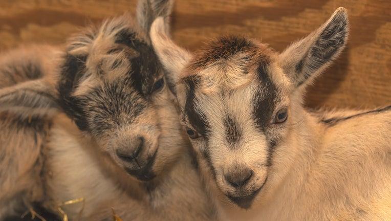 goat kids at the Minnesota Zoo
