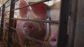 2nd of 4 planned hog disposal sites opens in Le Sueur County, Minnesota