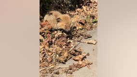 Baby fox saved in West St. Paul, Minnesota