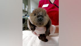 Wildlife Rehabilitation Center attempts family reunion of baby beaver that fell over Minnehaha Falls