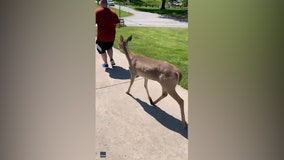 'It likes you': Deer gallops alongside Missouri joggers on run