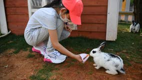 Rabbits are facing their own deadly virus outbreak which threatens to decimate the population