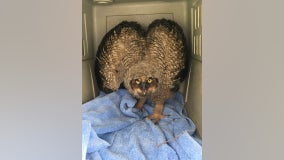 Officials rescue baby owl in Bloomington, Minnesota