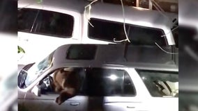 Video: Bear trapped inside SUV freed by deputies