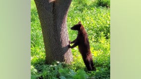 City Councilor urges caution after young bear spotted in Maple Grove