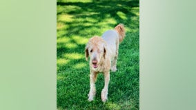 Goldendoodle found after going missing in crash on Hwy 169 in Shakopee, Minnesota