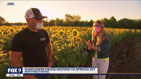 Sunflower fields in bloom in Northwest Metro
