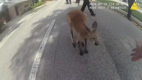 Kangaroo in custody after hopping through South Florida neighborhood