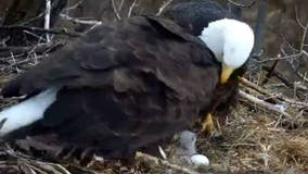 Eaglet from Minnesota DNR's EagleCam found dead after flying into power line