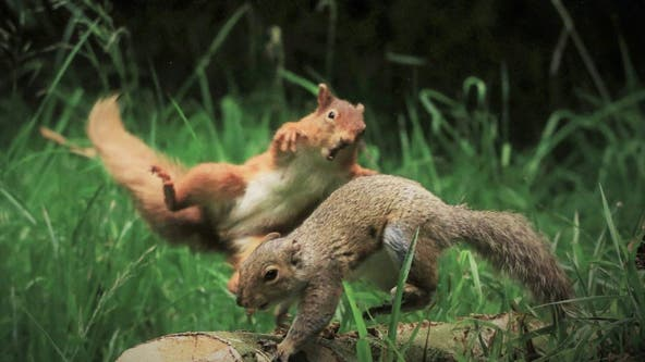 Red squirrel launches itself at grey squirrel in viral photo