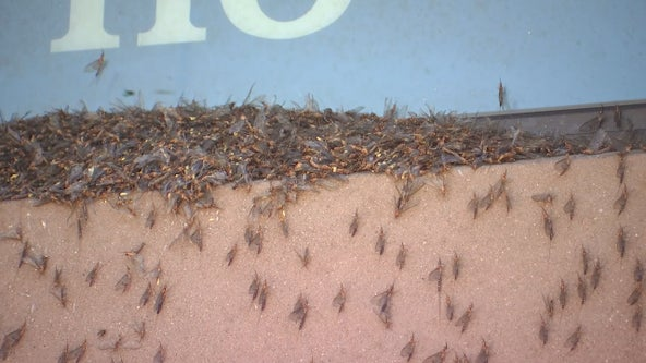 Mayflies hatch along Mississippi River, swarm cities of the metro including Hastings, Minn.