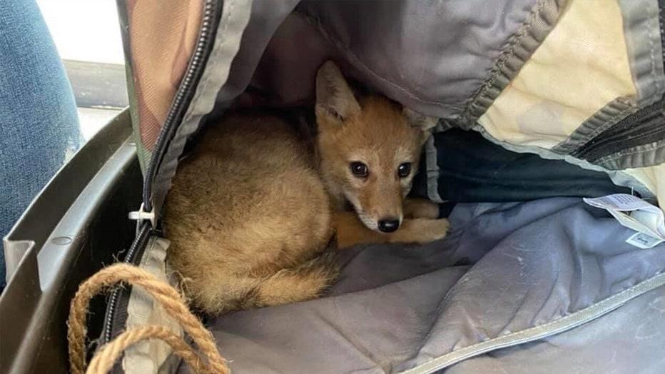 coyote-pup-rescued-2.jpg